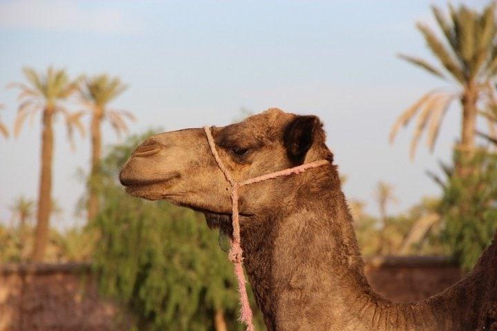 Optimized-camel-marrakech.jpg